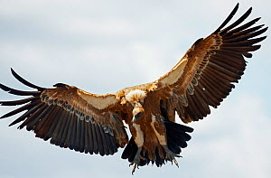 Griffon vulture (Gyps fulvus) in flight, Extremadura, Spain, April 2009 - Wild Wonders of Europe / Varesvuo