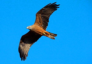Black kite (Milvus migrans) in flight, Extremadura, Spain, April 2009 - Wild Wonders of Europe / Varesvuo
