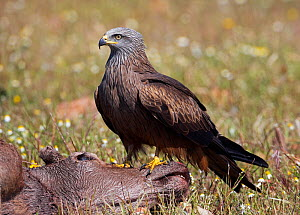 Black kite (Milvus migrans) on carcass, Extremadura, Spain, April 2009 - Wild Wonders of Europe / Varesvuo