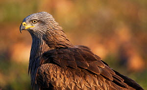 Black kite (Milvus migrans) portrait, Extremadura, Spain, April 2009 - Wild Wonders of Europe / Varesvuo