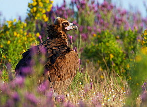 European black vulture (Aegyptus monacha) amongst flowers, Extremadura, Spain, April 2009 - Wild Wonders of Europe / Varesvuo