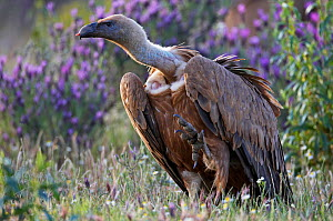 Griffon vulture (Gyps fulvus) lifting leg with small piece of flesh on beak, Extremadura, Spain, April 2009 - Wild Wonders of Europe / Varesvuo