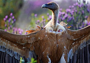 Griffon vulture (Gyps fulvus) with wings stretched out, Extremadura, Spain, April 2009 - Wild Wonders of Europe / Varesvuo