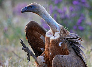 Griffon vulture (Gyps fulvus) walking, foot raised,  Extremadura, Spain, April 2009 - Wild Wonders of Europe / Varesvuo