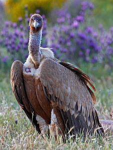 Griffon vulture (Gyps fulvus) portrait, Extremadura, Spain, April 2009 - Wild Wonders of Europe / Varesvuo