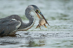 Grey heron (Ardea cinerea) catching a fish, Fisher pond, Prypiat area, Belarus, June 2009  -  Wild Wonders of Europe / Máté
