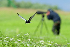 White winged black tern (Chlidonias leucopterus) in flight with a photographer, Prypiat river, Belarus, June 2009  -  Wild Wonders of Europe / Máté