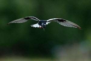 White winged black tern (Chlidonias leucopterus) in flight, Prypiat river, Belarus, June 2009  -  Wild Wonders of Europe / Máté