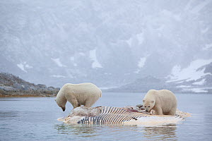Two Polar bears (Ursus maritimus) feeding on dead whale carcass, Svalbard, Norway, September 2009  -  Wild Wonders of Europe / Cairns