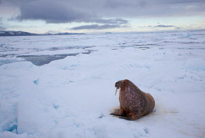 Walrus (Odobenus rosmarus) on sea ice, Svalbard, Norway, August 2009 - Wild Wonders of Europe / Cairns