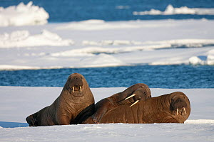 Three Walrus (Odobenus rosmarus) resting on sea ice, Svalbard, Norway, August 2009 - Wild Wonders of Europe / Cairns