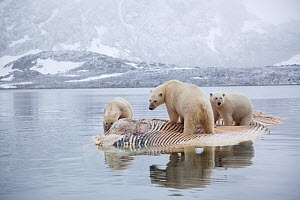 Three Polar bears (Ursus maritimus) feeding on dead whale, Svalbard, Norway, September 2009  -  Wild Wonders of Europe / Cairns