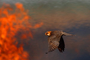 Female Red footed falcon (Falco vespertinus) hunting over burning steppe fields, Bagerova Steppe, Kerch Peninsula, Crimea, Ukraine, July 2009 - Wild Wonders of Europe / Lesniewski