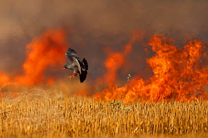 Male Red footed falcon (Falco vespertinus) hunting over burning steppe fields, Bagerova Steppe, Kerch Peninsula, Crimea, Ukraine, July 2009 - Wild Wonders of Europe / Lesniewski