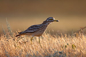 Stone curlew (Burhinus oedicnemus) Bagerova Steppe, Kerch Peninsula, Crimea, Ukraine, July 2009 - Wild Wonders of Europe / Lesniewski