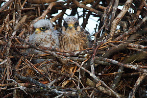 Two Red footed falcon (Falco vespertinus) chicks in nest, Bagerova Steppe, Kerch Peninsula, Crimea, Ukraine, July 2009 - Wild Wonders of Europe / Lesniewski