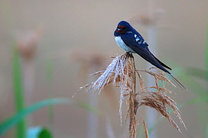 Barn swallow (Hirundo rustico) perching on reed, Bagerova Steppe, Kerch Peninsula, Crimea, Ukraine, July 2009 - Wild Wonders of Europe / Lesniewski