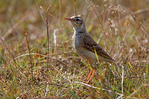 Tawny pipit (Anthus campestris) on ground, Bagerova Steppe, Kerch Peninsula, Crimea, Ukraine, July 2009  -  Wild Wonders of Europe / Lesniewski