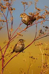 Two Corn buntings (Emberiza calandra) perching on vegetation, Bagerova Steppe, Kerch Peninsula, Crimea, Ukraine, July 2009 - Wild Wonders of Europe / Lesniewski