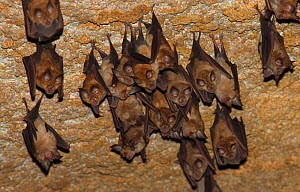 Lesser mouse eared bats (Myotis blythii) roosting in cave, Bagerova Steppe, Kerch Peninsula, Crimea, Ukraine, July 2009 - Wild Wonders of Europe / Lesniewski