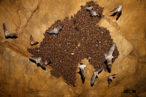 Colony of Lesser mouse eared bats (Myotis blythii) roosting in cave, some in flight, Bagerova Steppe, Kerch Peninsula, Crimea, Ukraine, July 2009. WWE INDOOR EXHIBITION - Wild Wonders of Europe / Lesniew