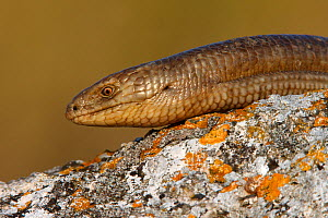 European glass lizard (Ophisaurus apodus) portrait, Bagerova Steppe, Kerch Peninsula, Crimea, Ukraine, July 2009. WWE BOOK - Wild Wonders of Europe / Lesniew