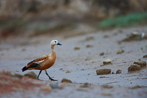 Ruddy shelduck (Tadorna ferruginea) in a dried out stream, Bagerova Steppe, Kerch Peninsula, Crimea, Ukraine, July 2009  -  Wild Wonders of Europe / Lesniewski