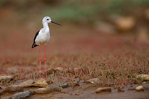 Black winged stilt (Himantopus himantopus) by a small pool in a dried out stream, Bagerova Steppe, Kerch Peninsula, Crimea, Ukraine, July 2009 - Wild Wonders of Europe / Lesniewski