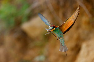 European bee eater (Merops apiaster) in flight with Dragonfly prey, Bagerova Steppe, Kerch Peninsula, Crimea, Ukraine, July 2009 - Wild Wonders of Europe / Lesniewski