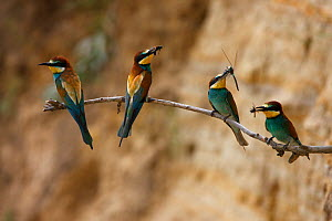 Four European bee eaters (Merops apiaster) perched on branch with food in breeding colony, Bagerova Steppe, Kerch Peninsula, Crimea, Ukraine, July 2009 - Wild Wonders of Europe / Lesniewski