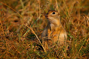 Little souslik (Spermophilus pygmaeus) sitting, Bagerova Steppe, Kerch Peninsula, Crimea, Ukraine, July 2009 - Wild Wonders of Europe / Lesniewski