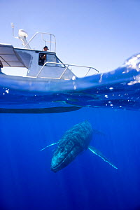 Humpback whale (Megaptera novaeangliae) swimming under whale-watching boat, Vava'u, Kingdom of Tonga, South Pacific, September 2006. Freeze Frame book plate page 40. - Doug Allan