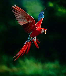 Green-winged macaw (Ara chloroptera) in flight, controlled conditions, from South America  -  Stephen Dalton