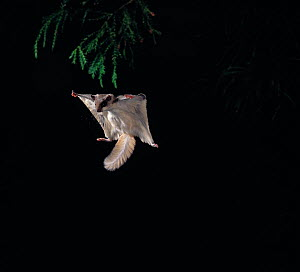Northern flying squirrel {Glaucomys sabrinus} gliding, controlled conditions, native to North America  -  Stephen Dalton