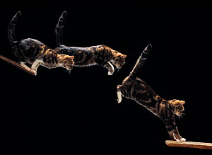 Domestic cat {Felis catus}  leaping sequence, multiflash image  -  Stephen Dalton