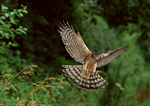 Sparrowhawk {Accipiter nisus} in flight with feet extended for landing, UK  -  Stephen Dalton