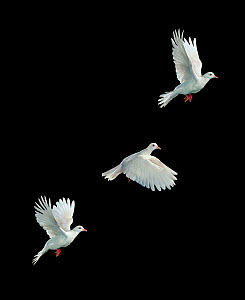 Ringneck / Java dove {Streptopelia roseogrisea} flight sequence, multiflash image, UK  -  Stephen Dalton