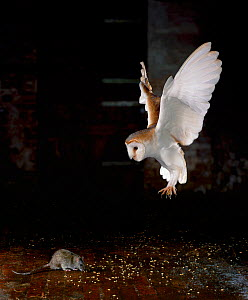 Barn owl (Tyto alba) in flight, flying down to catch rat prey, UK, manipulated image (controlled conditions rat protected by sheet of perspex)  -  Stephen Dalton