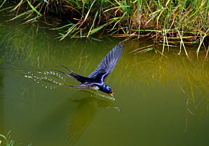 Barn swallow (Hirundo rustica) drinking while in flight, UK - Stephen Dalton