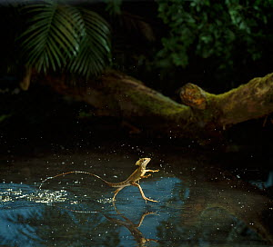 Brown basilisk / Jesus lizard {Basiliscus vittatus} running on water, controlled conditions, from Central America  -  Stephen  Dalton