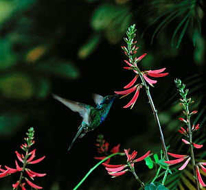 Green violetear / violet-eared hummingbird {Colibri thalassinus} in flight, feeding from flower, from Central America  -  Stephen Dalton