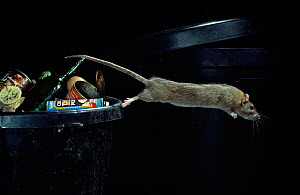 Brown rat {Rattus norvegicus} leaping from dustbin, UK - Stephen Dalton
