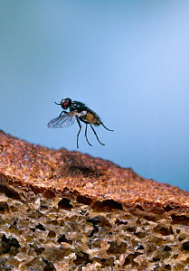 Common house fly (Musca domestica) taking-off from brown bread, UK - Stephen Dalton