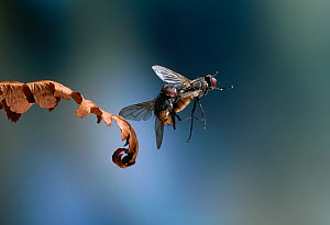 Common house fly {Musca domestica} pair mating in flight, UK - Stephen Dalton