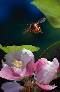 Honey bee {Apis mellifera} flying towards Apple blossom, UK  -  Stephen Dalton