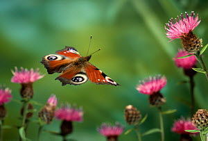 Peacock butterfly (Vanessa io) in flight, UK  -  Stephen Dalton