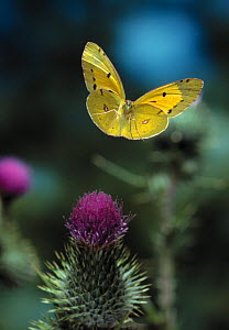 Clouded yellow butterfly {Colias crocea} in flight over thistle flowers, UK - Stephen Dalton