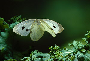 Large white butterfly {Pieris brassicae} in flight over cabbage plant, UK  -  Stephen Dalton