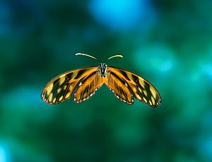 Ithomid butterfly {Dircenna sp} in flight, from Venezuelan cloudforest  -  Stephen Dalton