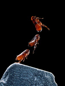 Cat flea {Ctenocephalides felis} leaping sequence, multiflash image  -  Stephen Dalton